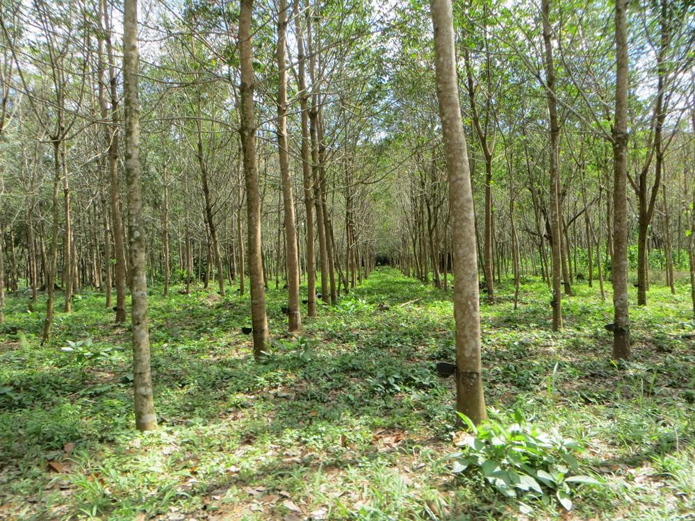 Plantation d'Hévéas