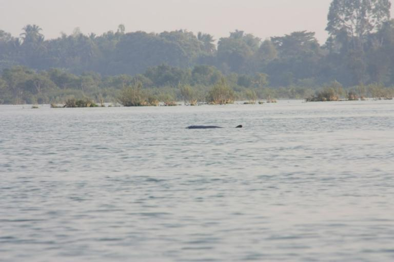 Dauphins d'Irrawaddy